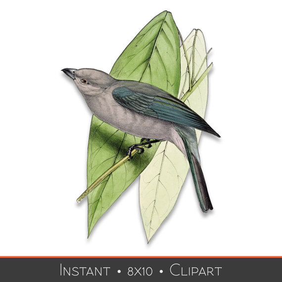 Blue Tanager clipart #3, Download drawings
