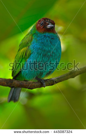 Blue Tanager clipart #1, Download drawings