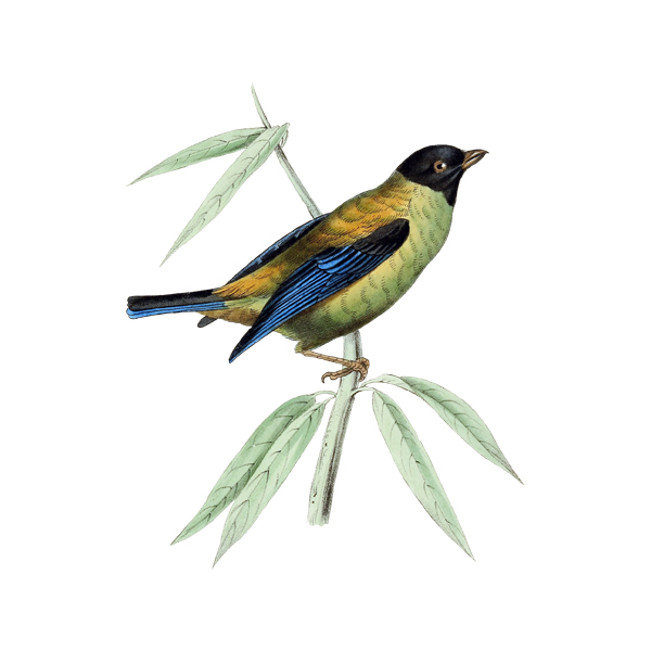 Blue Tanager clipart #14, Download drawings