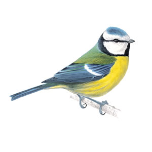 Blue Tit clipart #20, Download drawings