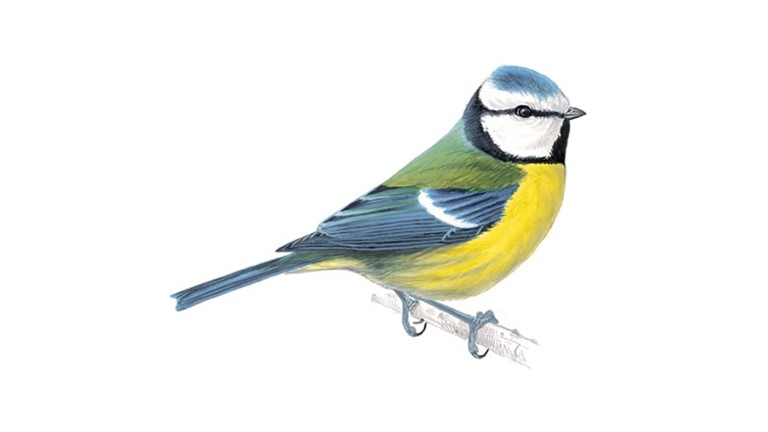 Blue Tit coloring #5, Download drawings