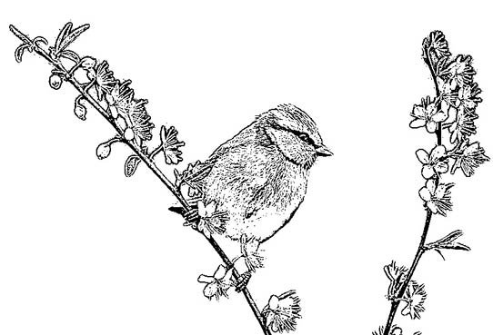 Blue Tit coloring #2, Download drawings