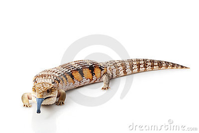 Blue-Tongue Skink clipart #16, Download drawings