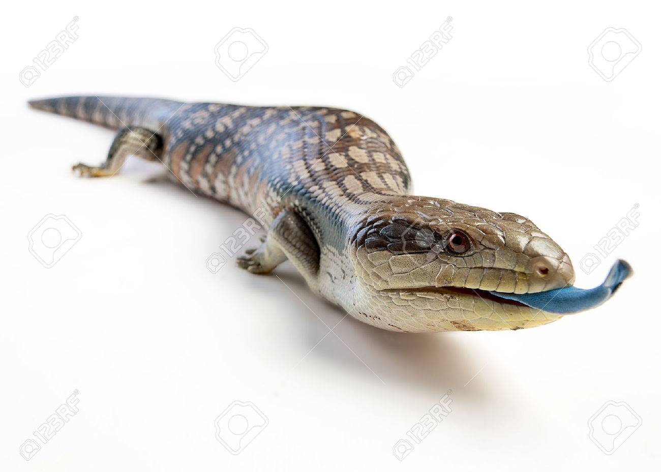 Blue-Tongue Skink clipart #17, Download drawings