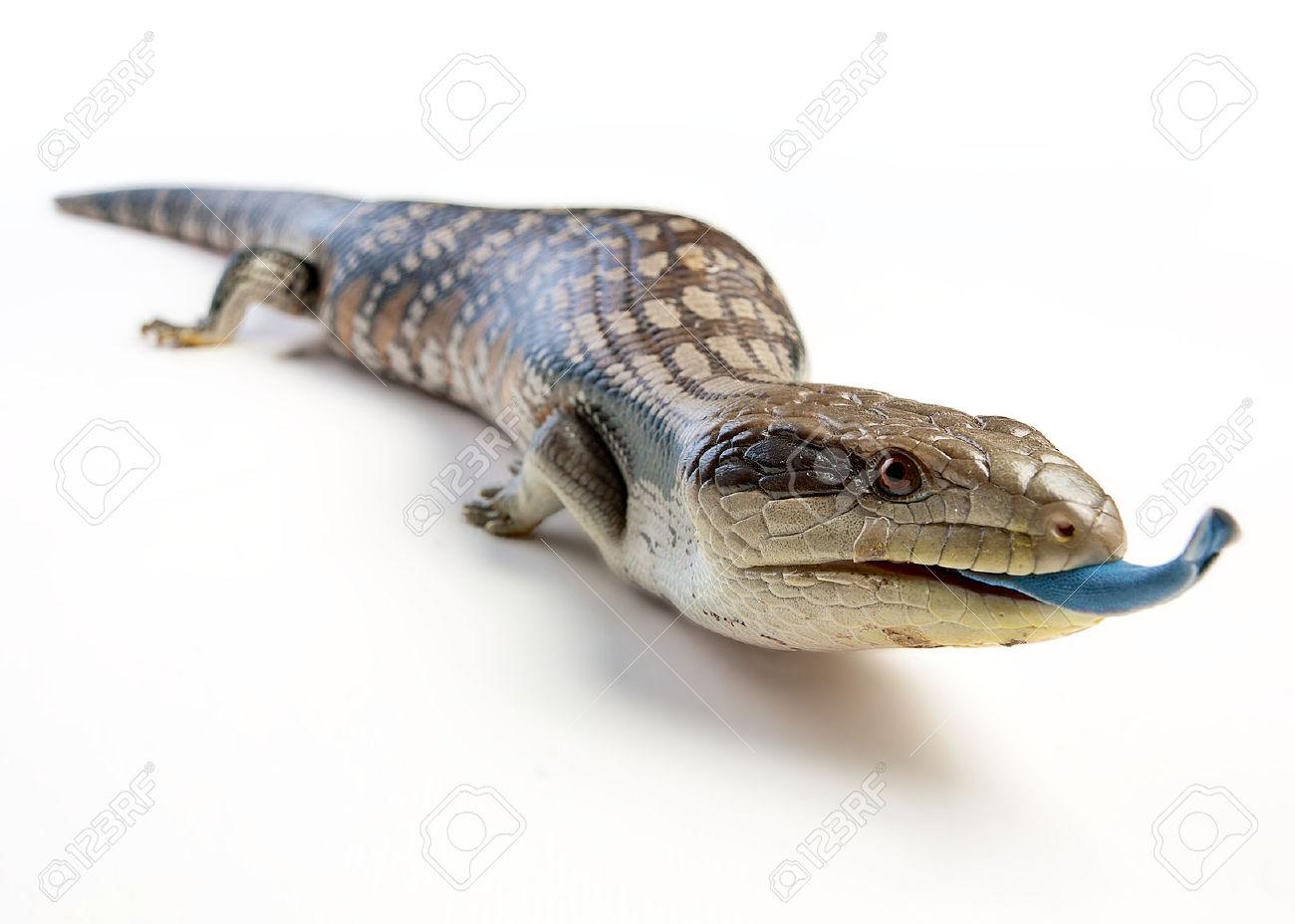 Blue Tongue Lizard clipart #18, Download drawings