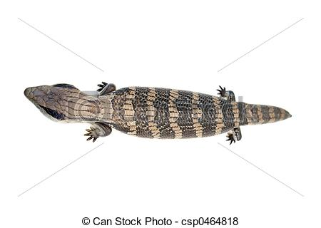 Blue-Tongue Skink clipart #10, Download drawings
