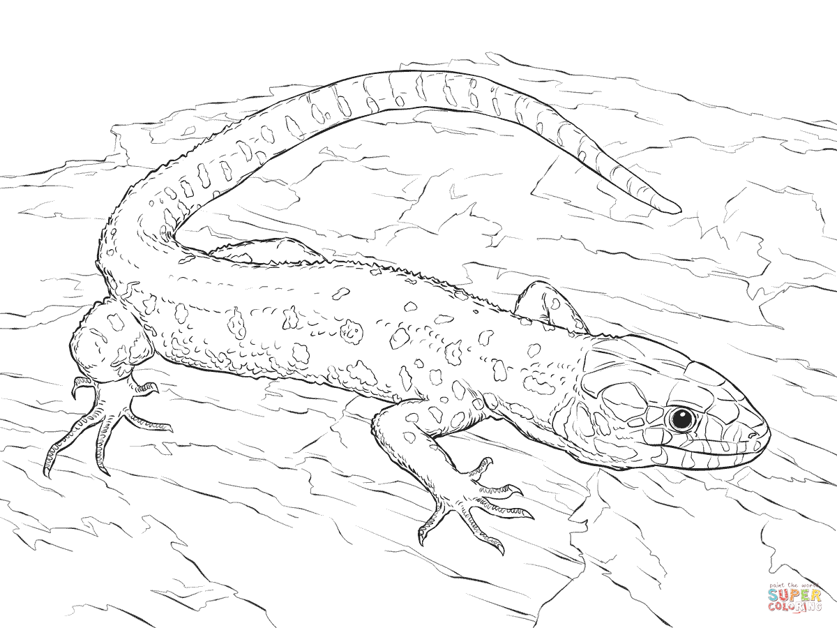 collared lizard coloring pages - photo#4