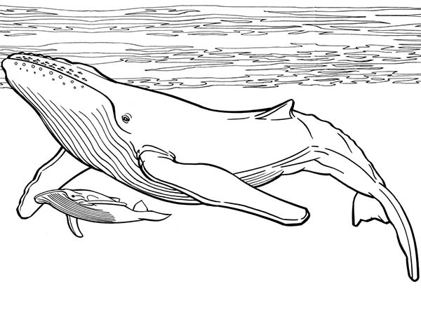 Blue Whale coloring #19, Download drawings