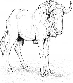 Wildebeest coloring #11, Download drawings