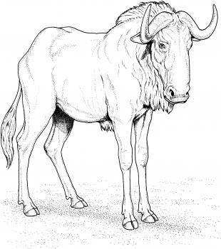 Blue Wildebeest coloring #20, Download drawings