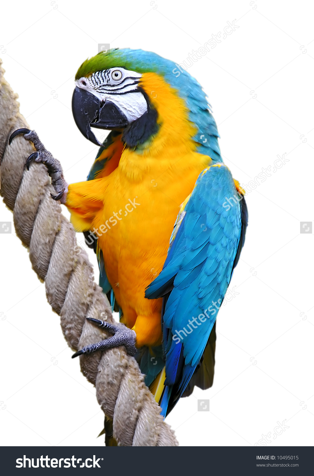 Blue-and-yellow Macaw clipart #3, Download drawings