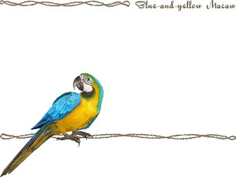 Blue-and-yellow Macaw clipart #13, Download drawings
