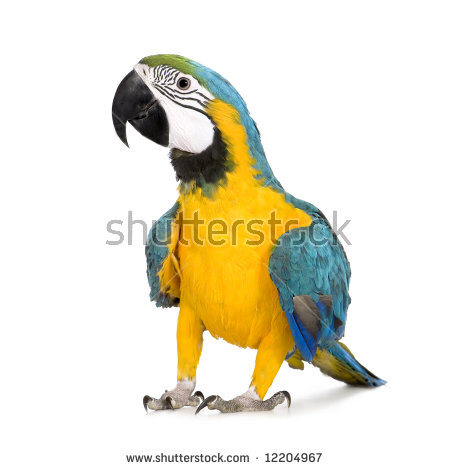 Blue-and-yellow Macaw clipart #15, Download drawings