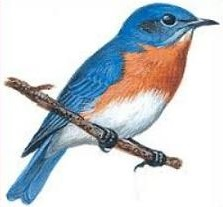 Bluebird clipart #16, Download drawings