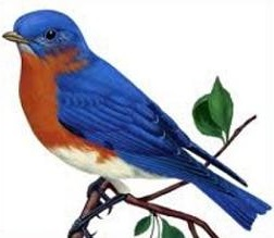 Bluebird clipart #20, Download drawings