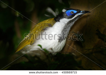 Blue-faced Honeyeater clipart #10, Download drawings