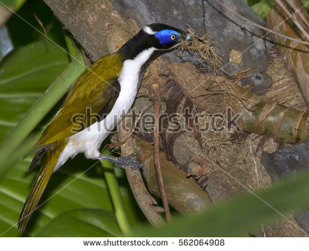 Blue-faced Honeyeater clipart #7, Download drawings