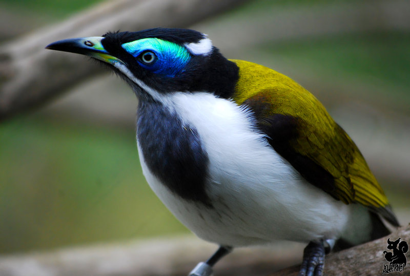 Blue-faced Honeyeater clipart #8, Download drawings