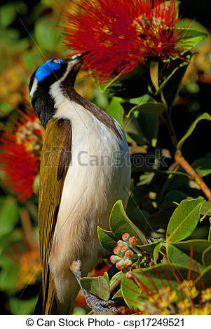 Blue-faced Honeyeater clipart #5, Download drawings