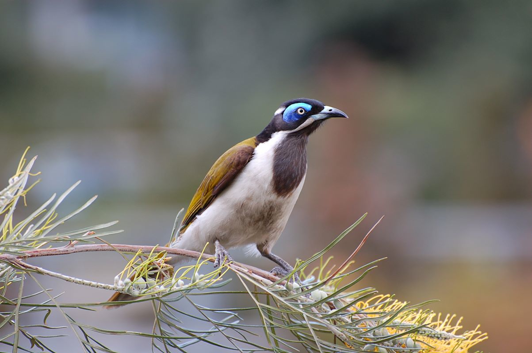 Blue-faced Honeyeater clipart #1, Download drawings