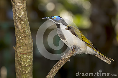 Blue-faced Honeyeater clipart #9, Download drawings