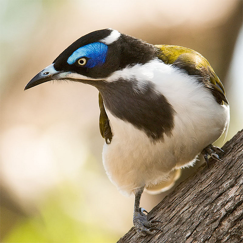 Blue-faced Honeyeater clipart #3, Download drawings