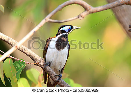 Blue-faced Honeyeater clipart #19, Download drawings