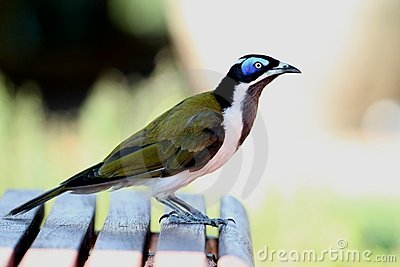 Blue-faced Honeyeater clipart #20, Download drawings
