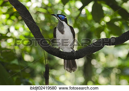 Blue-faced Honeyeater clipart #17, Download drawings