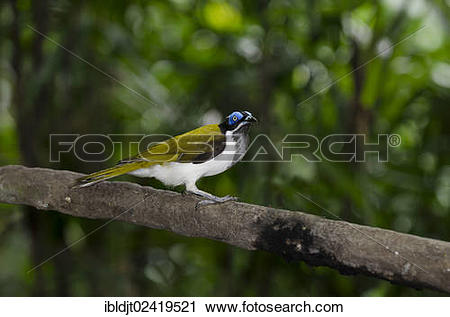 Blue-faced Honeyeater clipart #18, Download drawings