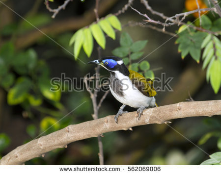 Blue-faced Honeyeater clipart #14, Download drawings