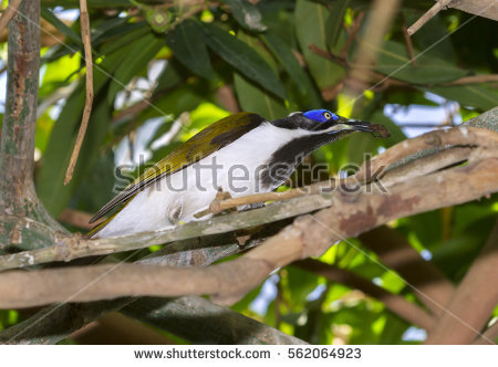 Blue-faced Honeyeater clipart #12, Download drawings