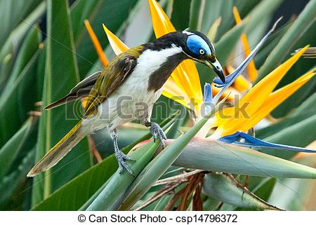 Blue-faced Honeyeater clipart #13, Download drawings