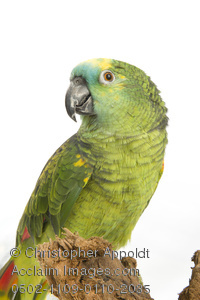 Blue-fronted Parrot clipart #14, Download drawings