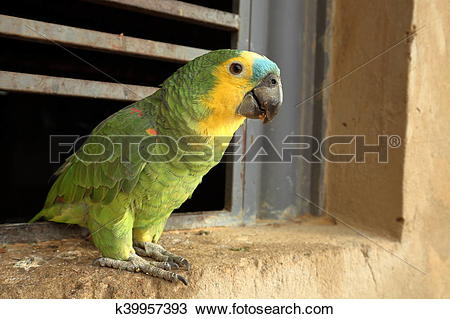 Blue-fronted Parrot clipart #15, Download drawings