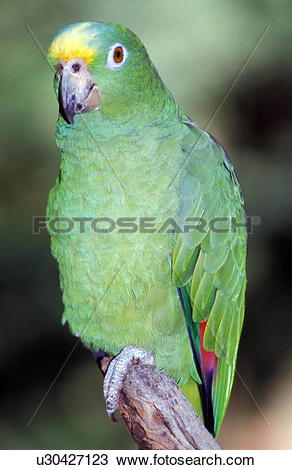 Blue-fronted Parrot clipart #16, Download drawings
