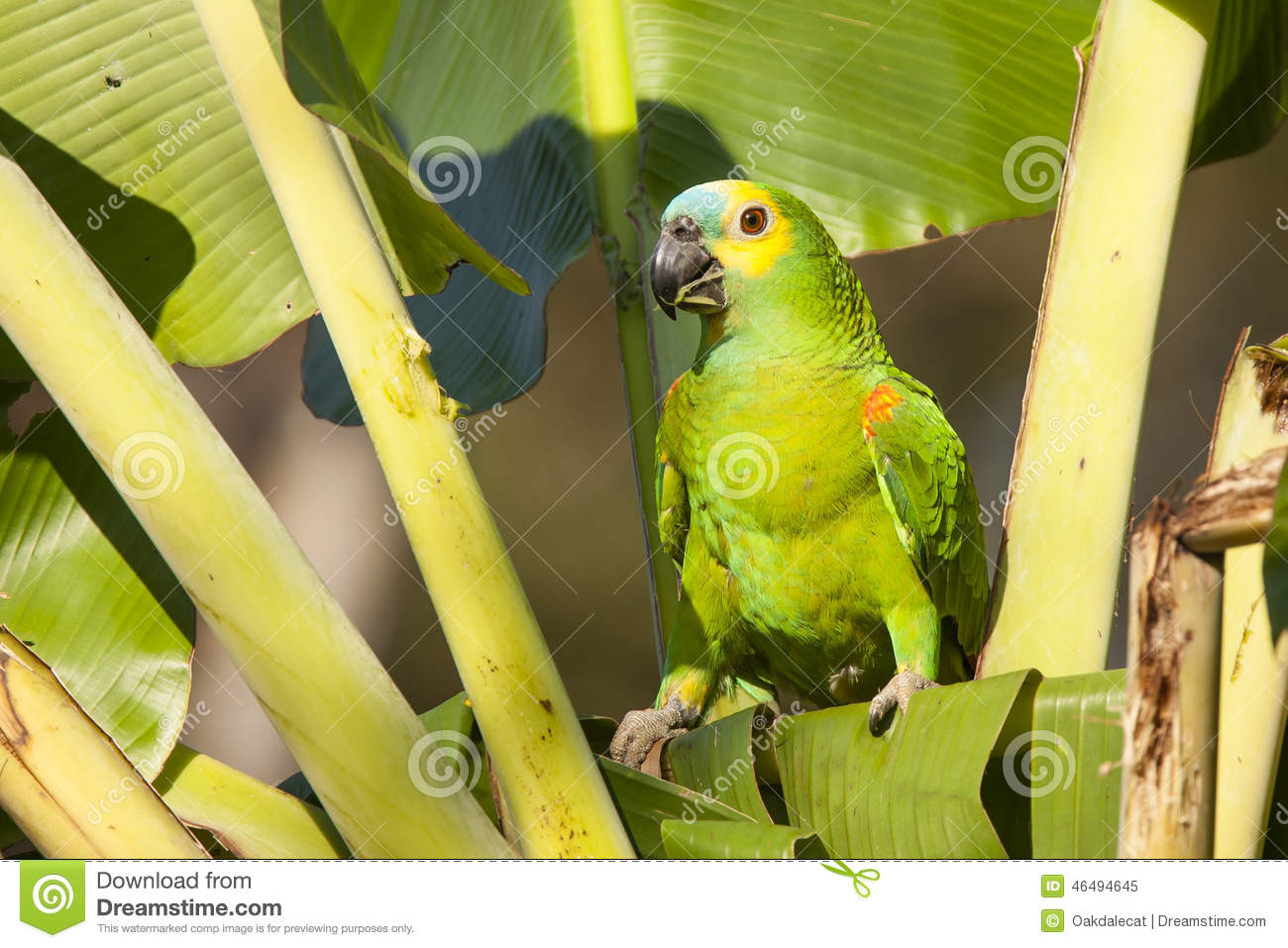 Blue-fronted Parrot clipart #9, Download drawings