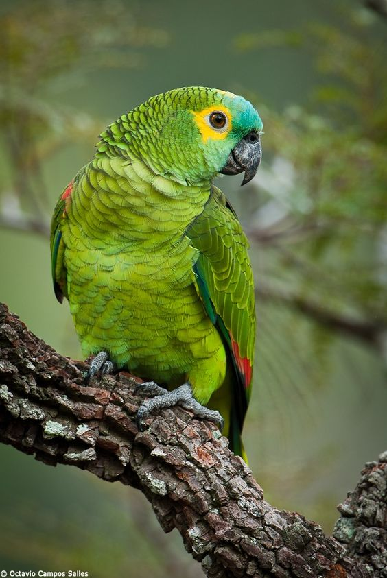 Blue-fronted Parrot clipart #8, Download drawings