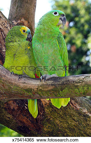 Blue-fronted Parrot clipart #10, Download drawings