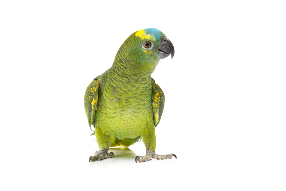 Blue-fronted Parrot clipart #4, Download drawings