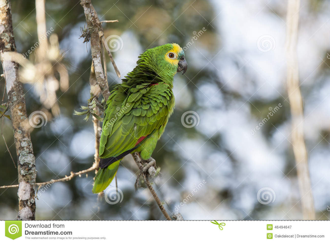 Blue-fronted Parrot clipart #6, Download drawings