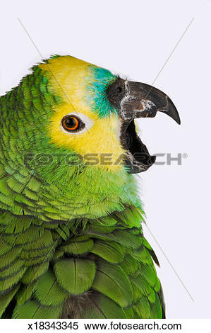 Blue-fronted Parrot clipart #20, Download drawings