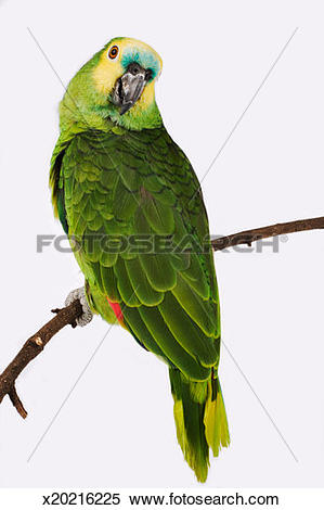 Blue-fronted Parrot clipart #19, Download drawings