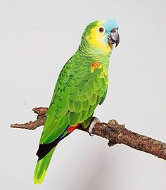 Blue-fronted Parrot clipart #17, Download drawings