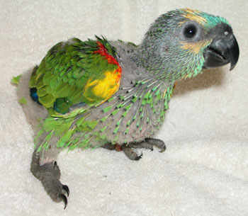 Blue-fronted Parrot coloring #16, Download drawings