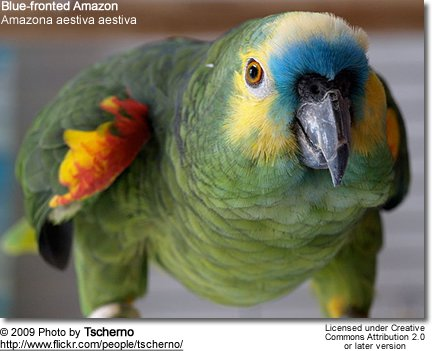 Blue-fronted Parrot coloring #12, Download drawings