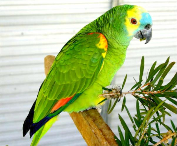 Blue-fronted Parrot coloring #9, Download drawings