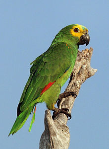 Blue-fronted Parrot coloring #7, Download drawings