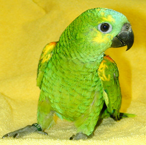 Blue-fronted Parrot coloring #5, Download drawings