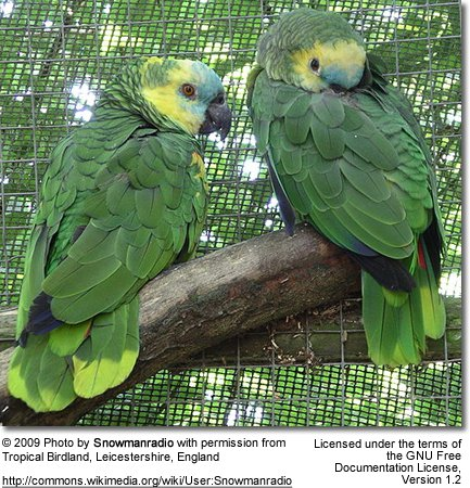 Blue-fronted Parrot coloring #6, Download drawings